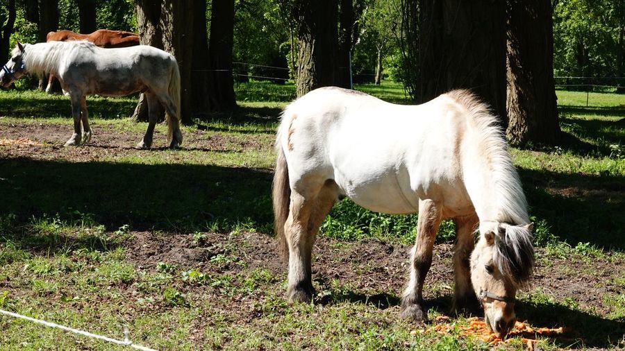 Horse Grazing Fauna Mammal Animal Themes Domestic Animals Animal Domestic Vertebrate Livestock Group Of Animals Horse Animal Wildlife Nature White Color Standing Land Pets Day Field Grass Plant Tree