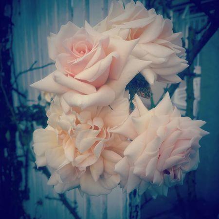 Roses I Never Promised You A Rose Garden Creme Caramel Vintage Photo Old School Romance