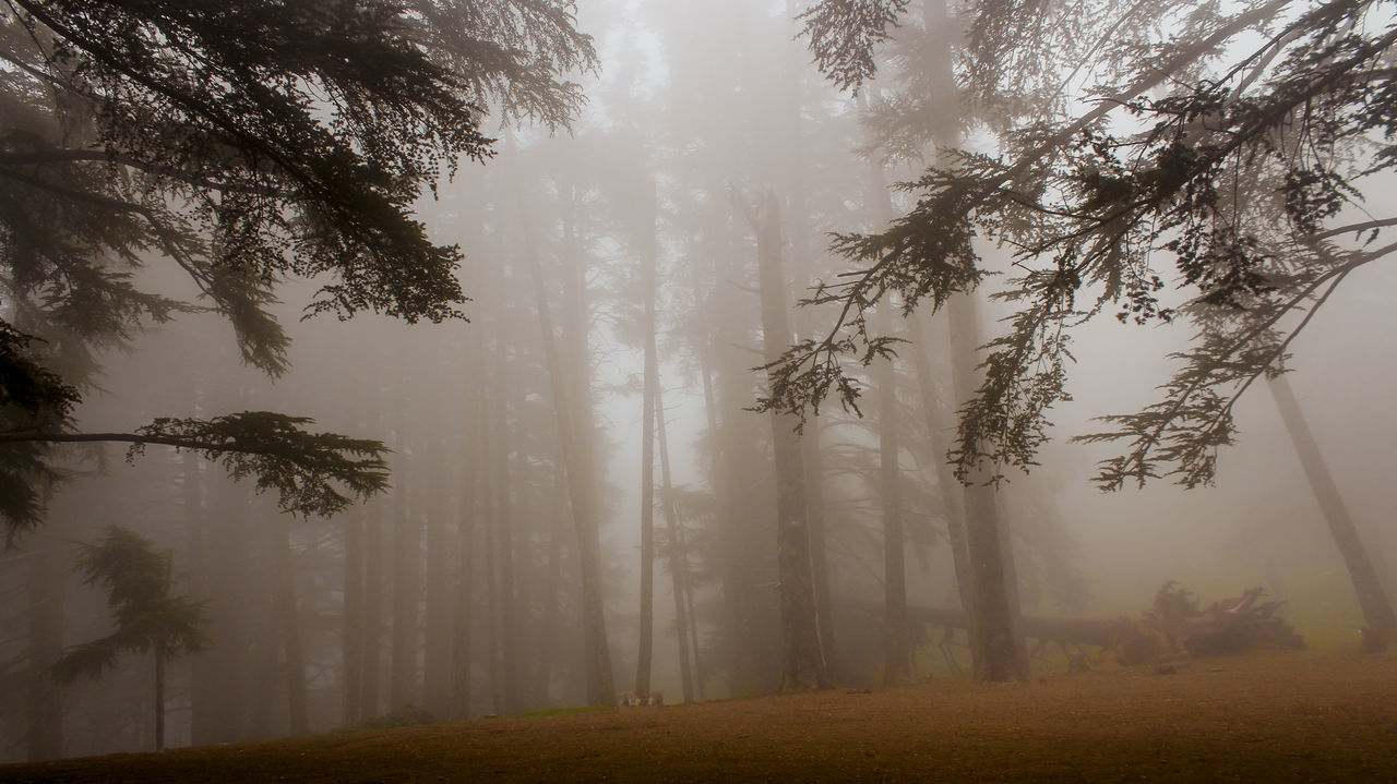 tree, fog, plant, beauty in nature, land, forest, tranquility, tranquil scene, scenics - nature, environment, nature, non-urban scene, growth, idyllic, trunk, tree trunk, no people, day, woodland, outdoors, hazy
