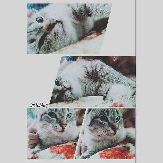 Selfie Selca Sarang Cat Love Animal Photo Pretty Boy Blue Eyes Beauty Cutest Me Nomakeup Ulzzang Ulzzanggirl Siamcat Santa Kawai Aegyo Kyopta Nice Sweety