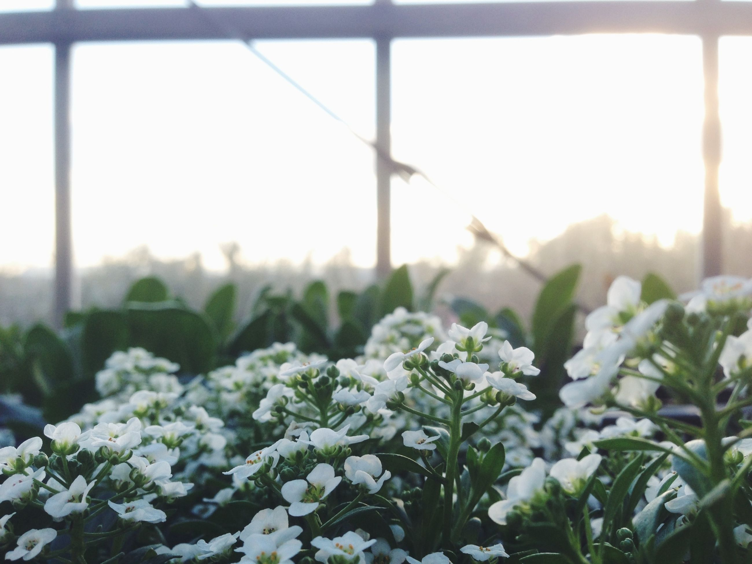 plant, growth, flower, nature, beauty in nature, sun, sunlight, fragility, freshness, leaf, focus on foreground, tranquility, sunbeam, fence, close-up, field, sunset, sky, no people, day