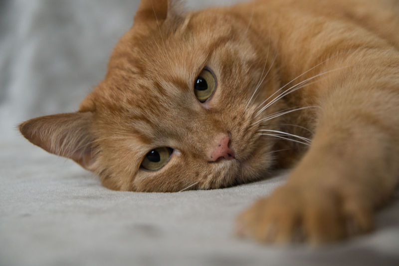 Home Red Animal Themes Cat Close-up Day Domestic Animals Domestic Cat Floor Indoors  Lazy Mammal No People One Animal Pet Pets Striped