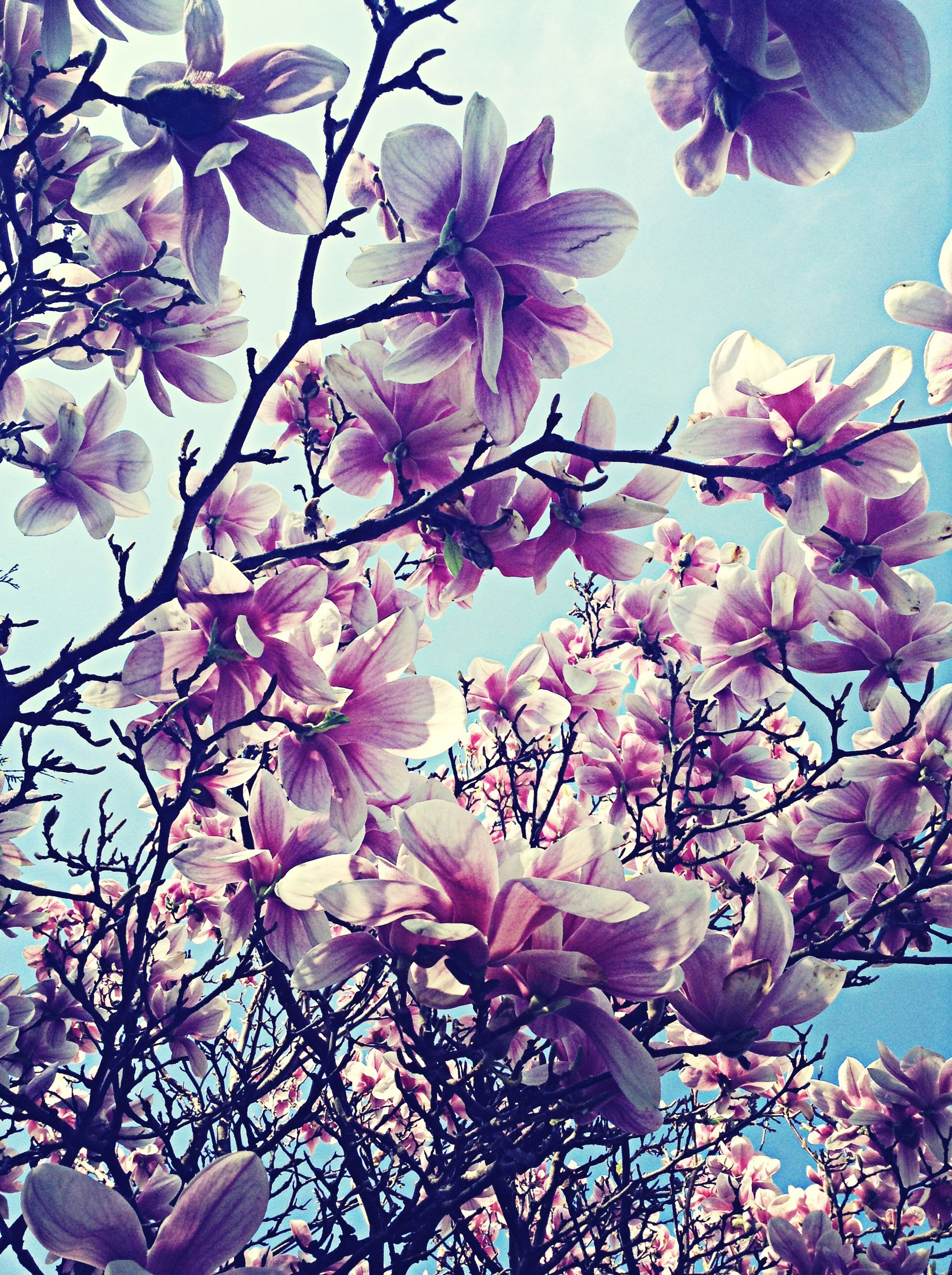 flower, freshness, fragility, branch, growth, low angle view, blossom, tree, beauty in nature, cherry blossom, petal, pink color, nature, blooming, in bloom, cherry tree, springtime, sky, clear sky, botany