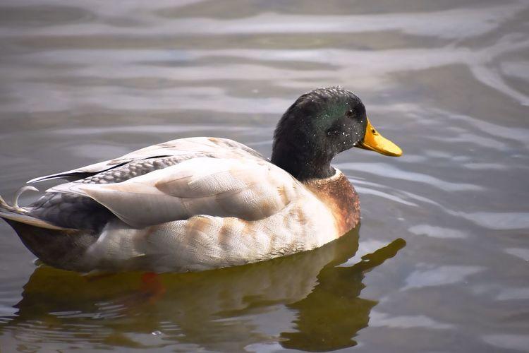 Mallard Bird