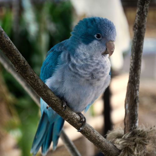 Bird One Animal Animal Themes Perching Animal Wildlife Focus On Foreground Animals In The Wild No People Close-up Outdoors Day Nature Blue Parrot Branch