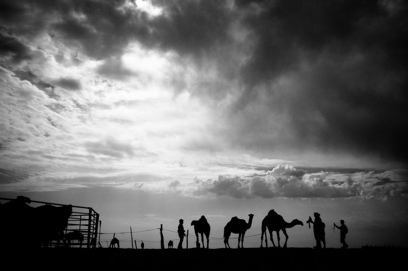 Silhouette Of Camels And Tourists In Desert