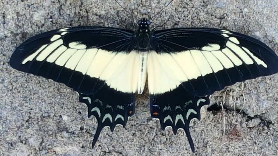 Rare footage of black swallow tail butterfly Butterfly - Insect Animals In The Wild Close-up Outdoors Animal Wildlife No People EyeEm F4F L4l EyeEmNewHere Beauty In Nature 758 Insect Animal Themes Nature Day One Animal Spread Wings Sommergefühle EyeEm Selects