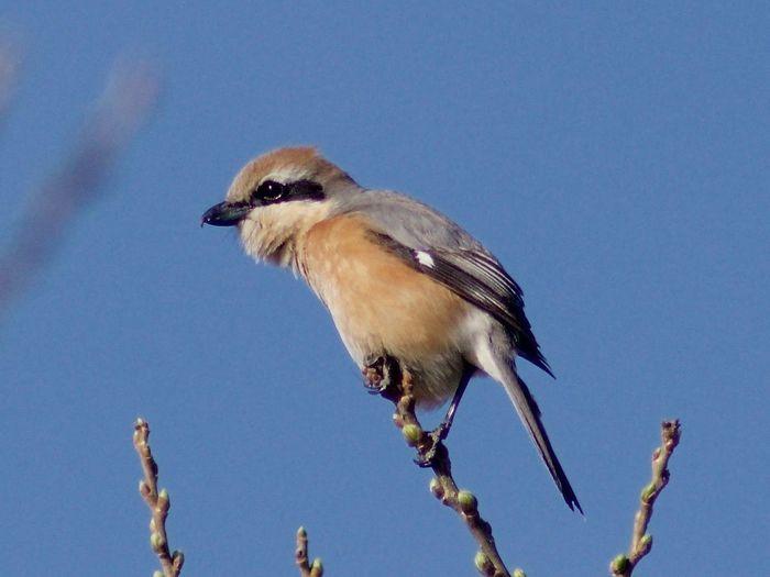 Shrike Blue Sky Bird Animal Wildlife Outdoors No People Beauty In Nature PENTAX K-70 Tokina At-x Af 400mm Heijokyo Nara 野鳥 Japan 3XSPUnity