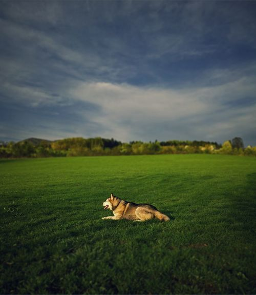 Now he is just posing :P Dog Husky Field Horizon Horizon Over Land Green Grass Sky Clouds Spring Hill Livada Polje Nebo Oblaci Pas Wallpaper Cover Backgrounds LG G3