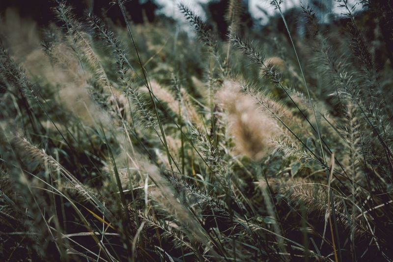 Tranquility Growth Nature Grass Field Plant No People Outdoors Day Beauty In Nature Tranquil Scene Rural Scene Timothy Grass Close-up Scenics Wheat Landscape Backgrounds Cereal Plant Freshness Grass Autumn p Be. Ready. EyeEm Ready   EyeEmNewHere