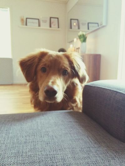 My Beautiful Dog Millie ? Novascotiaducktollingretriever Love