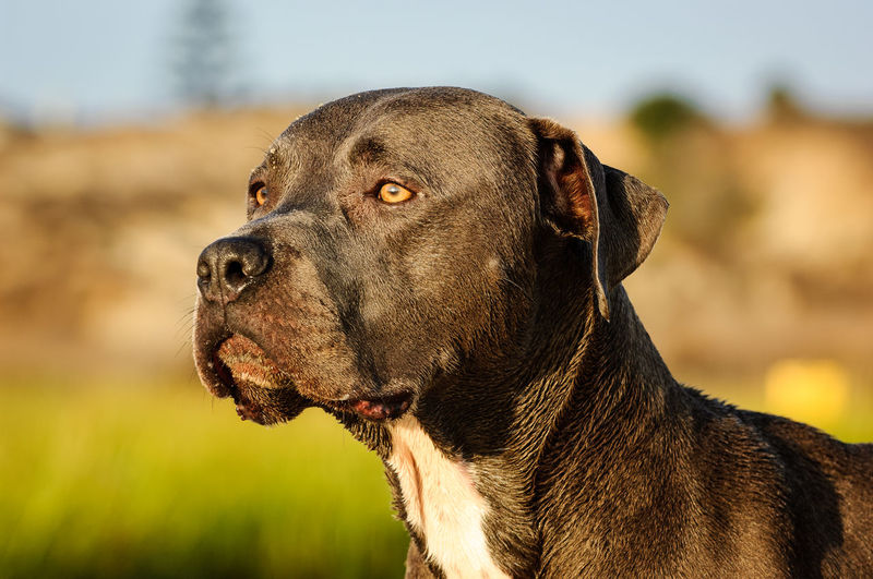 American Pit Bull Terrier dog portrait One Animal Canine Dog Animal Themes Looking Away Day Pets Looking No People Animal Head  Profile View Outdoors Animal Pit Bull Pitbull American Pit Bull Terrier Terrier