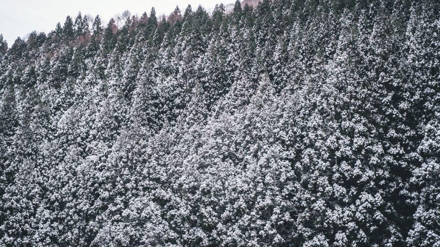 Snowy Trees No