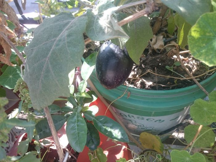 Black eggplant (brinjal) planted in plastic buckets, in a kitchen garden that is grown totally organic, using home grown compost. These plants are more than a year old and still giving good fruit. Brinjal Brinjal Plant Eggplant Eggplant Plant Food Green Color Growing Brinjal Growing Eggplant Growing In Bucket Growing In Plastic Bucket Home Garden Kitchen Garden Leaf Nature Organic Organic Garden Plant Plastic Bucket As Planter