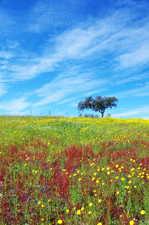 tree in flowery field at alentejo,Portugal Alentejo Landscapes Alentejo,Portugal Blue Cloud Field Flower Floweryellow Grass Landscape Sky Tranquil Scene Tree