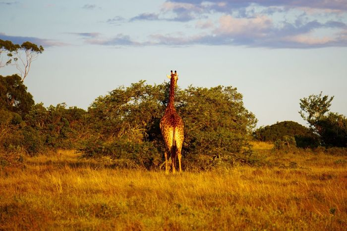 Wildlife Giraffe Safari Awesome Nature Landscape South Africa Game Drive Traveling Landscape_Collection