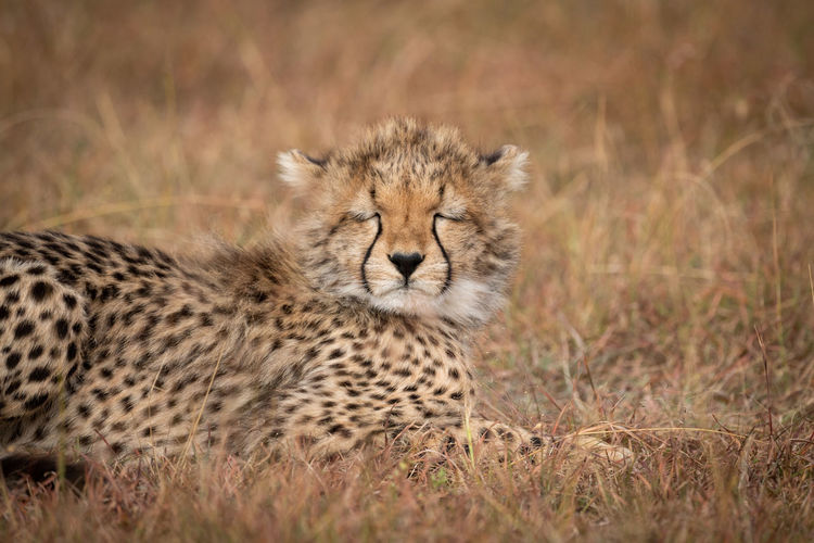 Cheetah cub with closed eyes sitting in forest