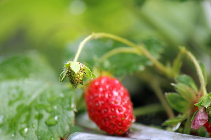 Fresh berry Background Bright Bud Close-up Colorful Container Gardening Food Food And Drink Freshness Fruit Green Color Growth Healthy Eating Leaf Nature Organic Plant Produce Red Selective Focus Strawberry Sunset Water Drops
