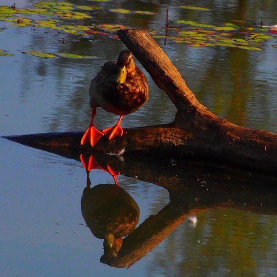 My feet are red. Aren't yours? Mallard Delta Ponds Red Feet Ducks Lakes, Parks, Nature Bird Photography Eye Em Nature Lover Birdwatching Birds