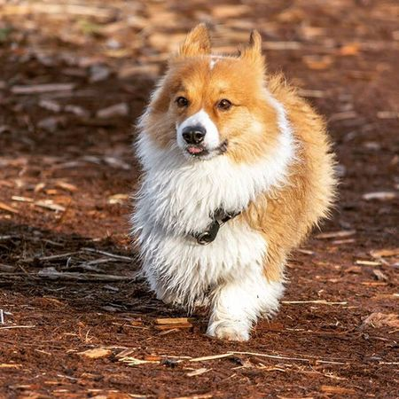 Dogsofinstagram Corgi Seattlecola