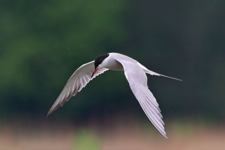 common tern searching for fish Seagull Animal Wing Close-up Zoology Beauty In Nature Focus On Foreground Animals In The Wild Bird Flying Animal Themes Spread Wings Animal Vertebrate Animal Wildlife One Animal Mid-air No People White Color Motion Day Nature Tern