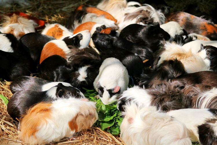 High angle view of guinea pigs