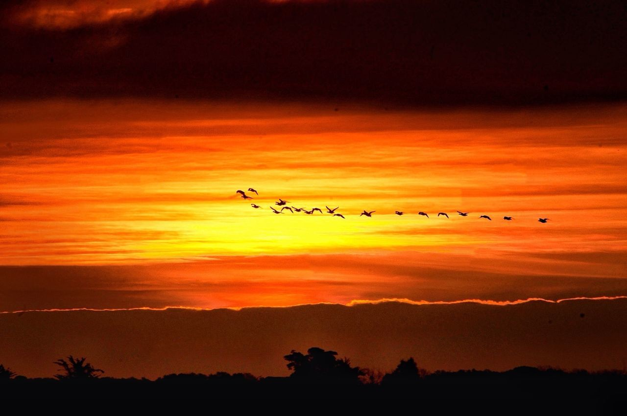 Silhouette flock of birds flying against orange sky