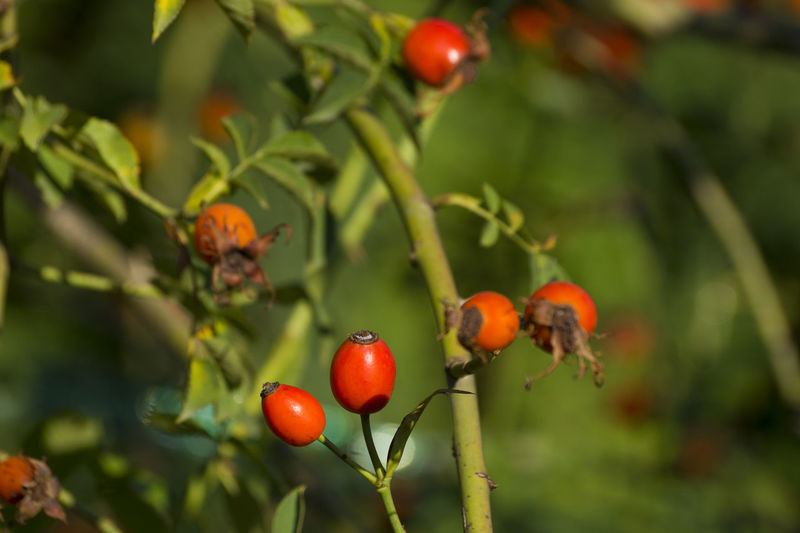 Close-up Focus On Foreground Food And Drink Fruit Growth Nature Nature_collection Plant Red Rose Hips Rosehip Rosehips