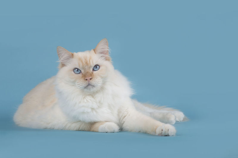 Pretty Ragdoll cat with blue eyes lying down on a blue background Ragdoll Ragdoll Cat Rag Doll Rag Doll Cat Lying Down Blue Eyes Blue Background Blue Colored Background Looking At Camera Cat Pets Feline One Animal Studio Shot Purebred Cat