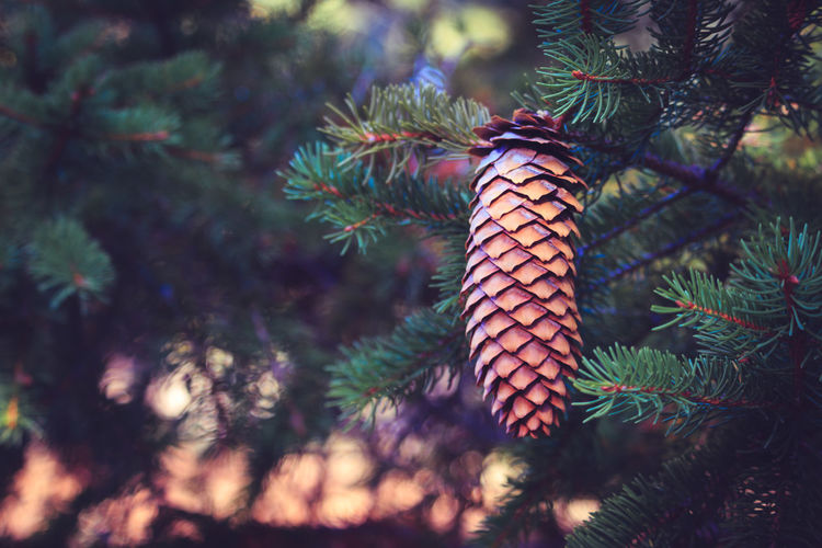 Pine Tree Pinaceae Tree No People Christmas Tree Day Outdoors Nature Branch Beauty In Nature Close-up Sky