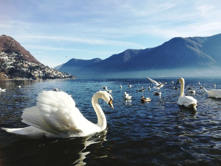 Bird Swan Animals In The Wild Animal Beauty In Nature Animal Wildlife Lake Animal Themes Water Bird Swimming No People Water Outdoors Day Lugano Swizzerland