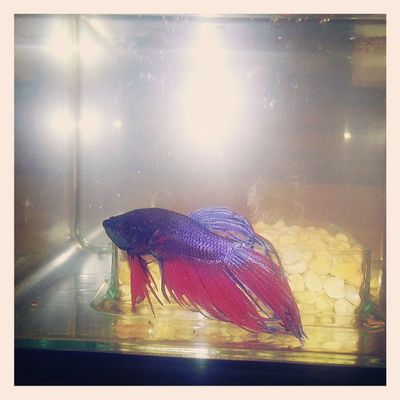Say hello to the new member of our family, Pedro Pez Neekidontheblock Sillymexican Justkeepswimming  Beta