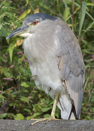 Black-crowned Night-Heron Illinois Nycticorax Nycticorax Obscurus Skokie Lagoons Animal Animal Themes Animal Wildlife Animals In The Wild Beak Bird Close-up Day Focus On Foreground Full Length Gray Land Nature No People Nycticorax Nycticorax One Animal Outdoors Perching Plant Tree Vertebrate
