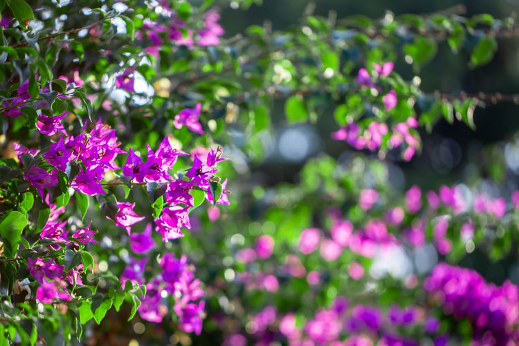 Blooming Purple Bougainvillea, Green Leaves, trees in the background, Bougainvillea spectabilis grows as a woody vine. close-up photo Grows Spectabilis Close-up Trees Background Beauty Bloom Blossom Flora Floral Flower Garden Green Nature Pink Plant Purple Spring Beautiful Bougainvillea Color Colorful Decoration Summer Petal Blooming Closeup Climbing Abstract Botanical Fresh Branch Texture Elégance Violet Decorative Meadow Green Leaves Bush Bougainvillea Glabra Bougainvillea Flowers Bright Colors Magenta Purple Flowers Evergreen Leaves Botany Morning Flowers Pattern Bunch