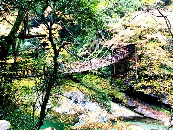 Tree Outdoors Forest Nature Beauty In Nature 祖谷のかずら橋 Tokushima_Japan Tokushima Power In Nature 吊り橋 Green Color 自然 Travel Destinations Trip Trip Photo 大歩危 小歩危 観光 Beauty In Nature Water Suspensionbridge