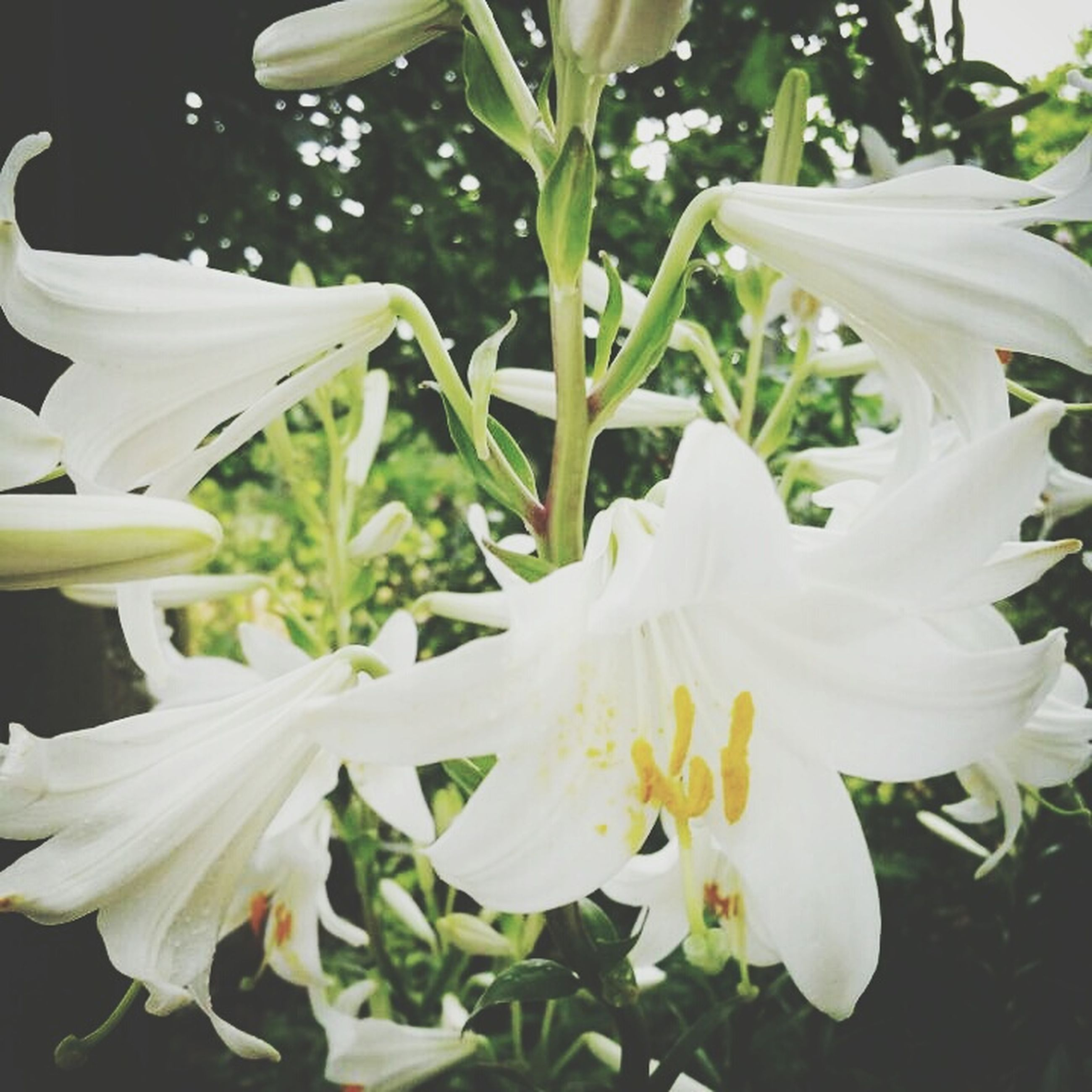 flower, petal, white color, flower head, freshness, fragility, growth, beauty in nature, blooming, plant, white, close-up, nature, leaf, pollen, in bloom, no people, stamen, day, outdoors