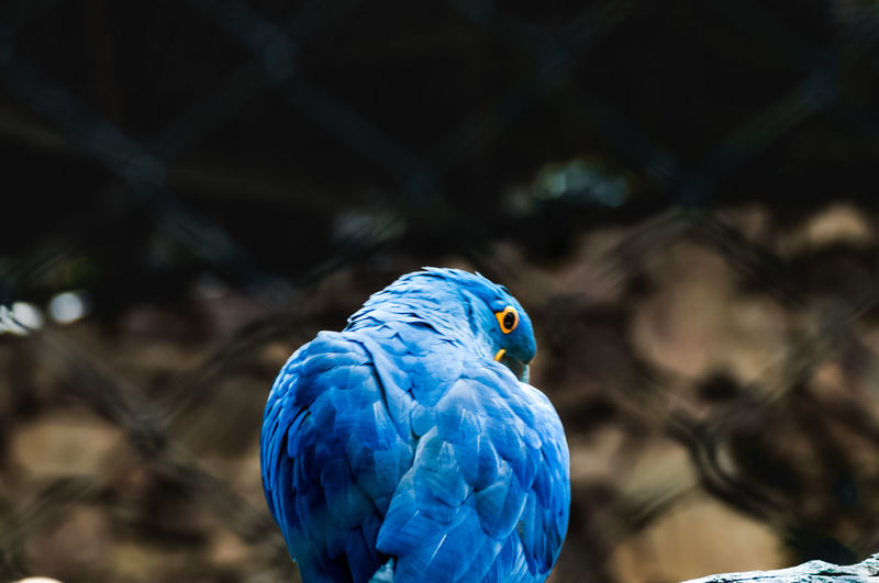 Close-up of blue parrot perching on branch in cage