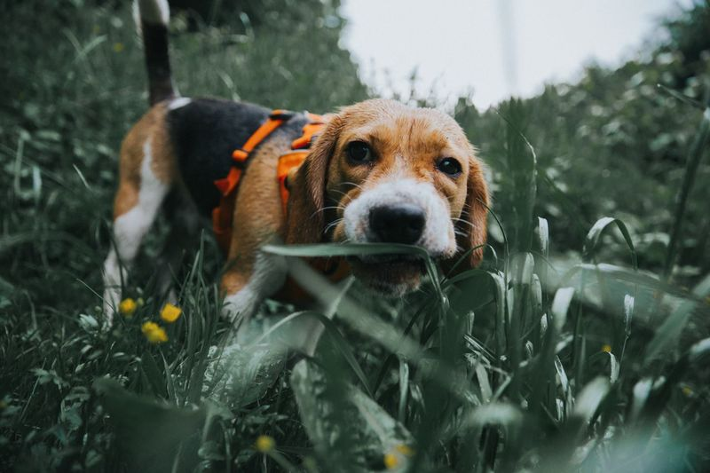 The beagle and the vegetation Grass Nature Beagle Puppy Pets One Animal Animal Themes Animal Dog Mammal Pets Domestic Looking At Camera Outdoors No People Nature Animal Body Part Day Wet Vertebrate Plant Focus On Foreground Domestic Animals Canine Portrait