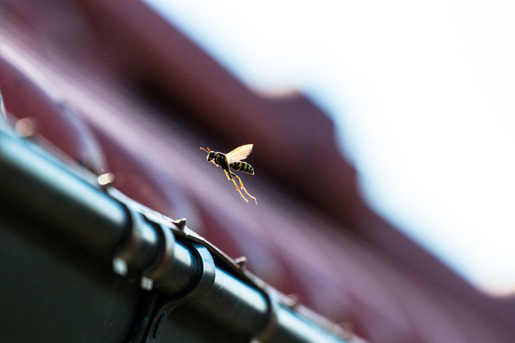 Low Angle View Of Wasp Flying In Mid-Air