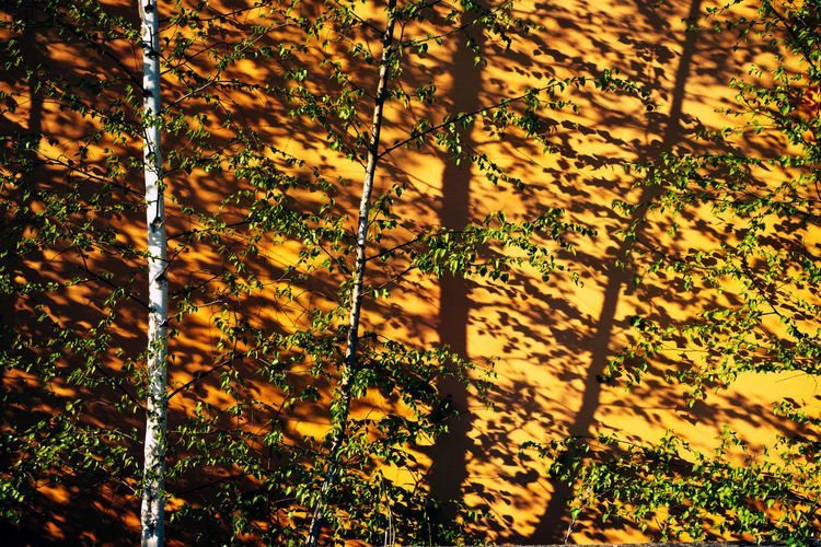 BIRCHES Birch Plant Growth Nature Beauty In Nature No People Tree Sunlight Day Yellow Shadow Tranquility Outdoors Plant Part Leaf Autumn Land Full Frame Close-up Branch Tree Trunk Change Birches Shadows & Lights Wall - Building Feature Wall Wallpaper Sunny Sun Warm Warm Light