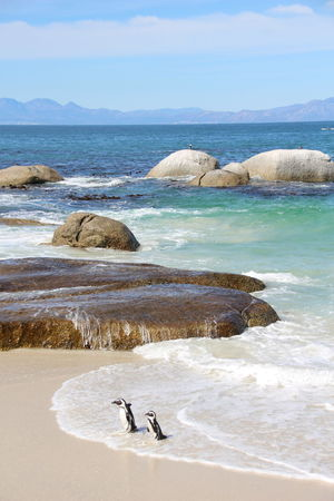 Penguin Penguins South Africa Capetown Walk On The Beach  Boulders Beach Sunny Day Sea Water Scenics Funny Couple Funny Moments