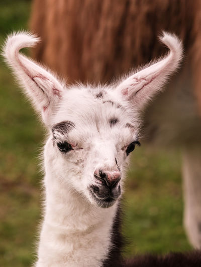 """Only a few hours old,""""I'll be fine when my ears straighten out"""" Alertness Animal Animal Body Part Close-up Cria Curiosity Day Focus On Foreground Llama Mammal Portrait Relaxation Relaxing Wildlife Zoology"""