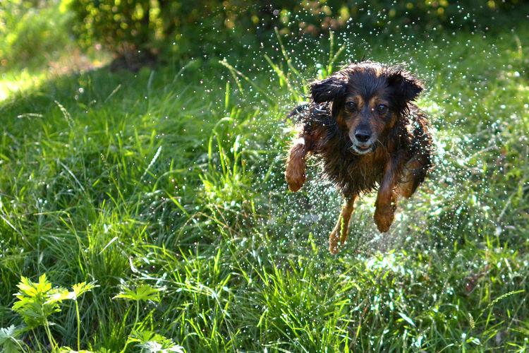 Dog running on field while splashing water