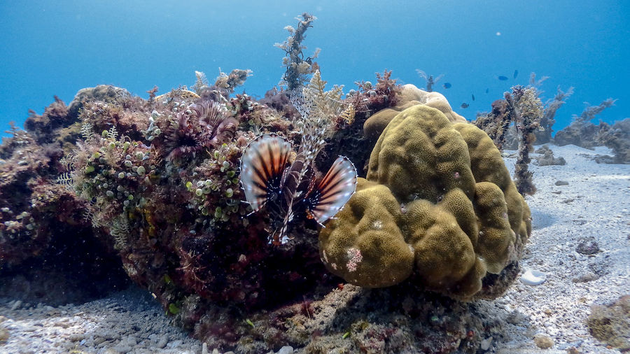 Red lionfish at isla verde