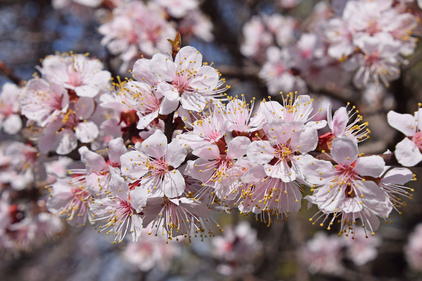 Apricot cherry blossom close up Apricot Tree Bloom Blooming Botany Cherry Cherry Blossom Cherry Blossoms Cherry Tree Cherryblossom Close-up Flower Fragility Fruit Growth In Bloom Nature Petal Pink Plants Spring Spring Has Arrived Springtime Stamen Tree Nature's Diversities
