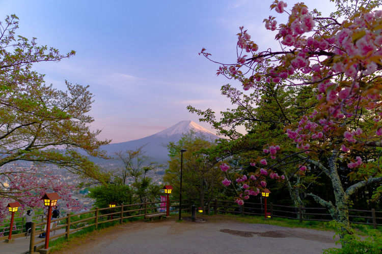 Pink Cherry Blossom Tree By Road Against Sky