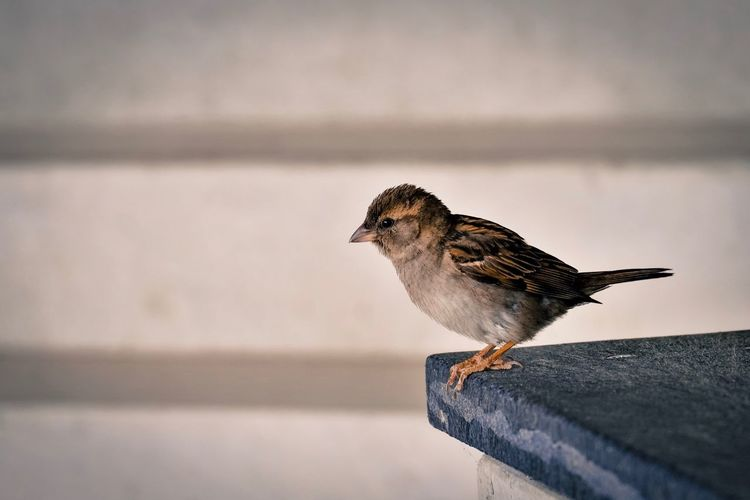 Bird Animals In The Wild Animal Themes No People Perching Sparrow One Animal Outdoors Day Focus On Foreground Nature Fuji X-T20 Fujifilm_xseries Fujifilm Be. Ready. EyeEm Ready