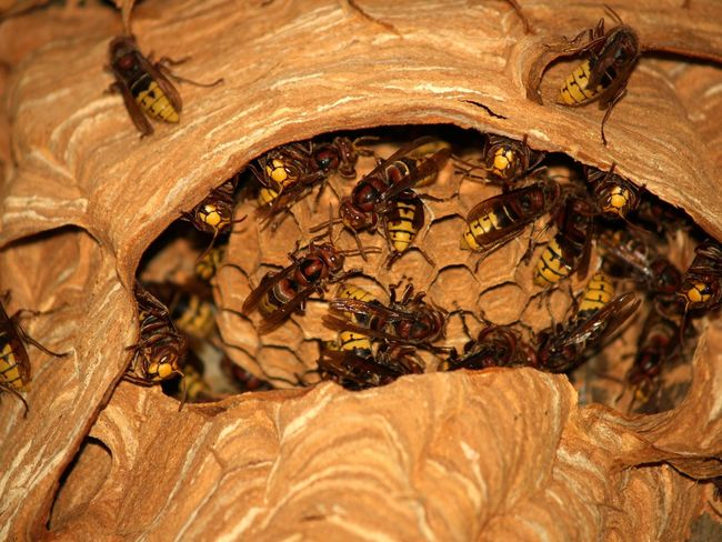 Animal Themes Animal Wildlife Animals In The Wild APIculture Bee Beehive Close-up Day Insect Leaf Mammal Nature No People Outdoors Wasp Nest Wasps Wasps Nest Waspsnest Wasps🐝