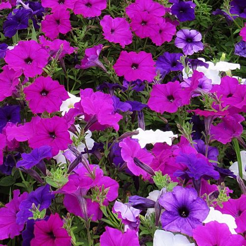 A pop of color ☺️ Petunias Mulicolors Plant Outdoors Flower Growth Close-up Nature Beauty In Nature From My Point Of View