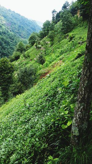 Turkey Türkiye Rize çamlıhemşin çay Tea